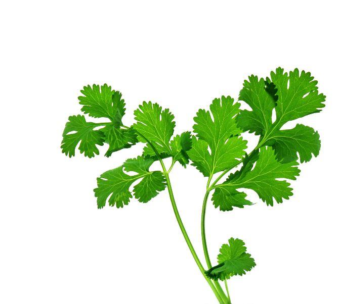 Coriandrul, un condiment care vindeca
