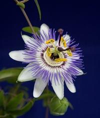 Passiflora