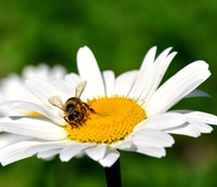 Beneficiile veninului de albine in tratamentele cosmetice