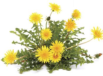 Plante medicinale pentru ficat