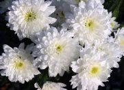 Crizantema – Una dintre florile perfecte pentru nunta de toamna